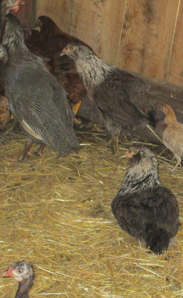 Preparing Your Chicken Coop forWinter