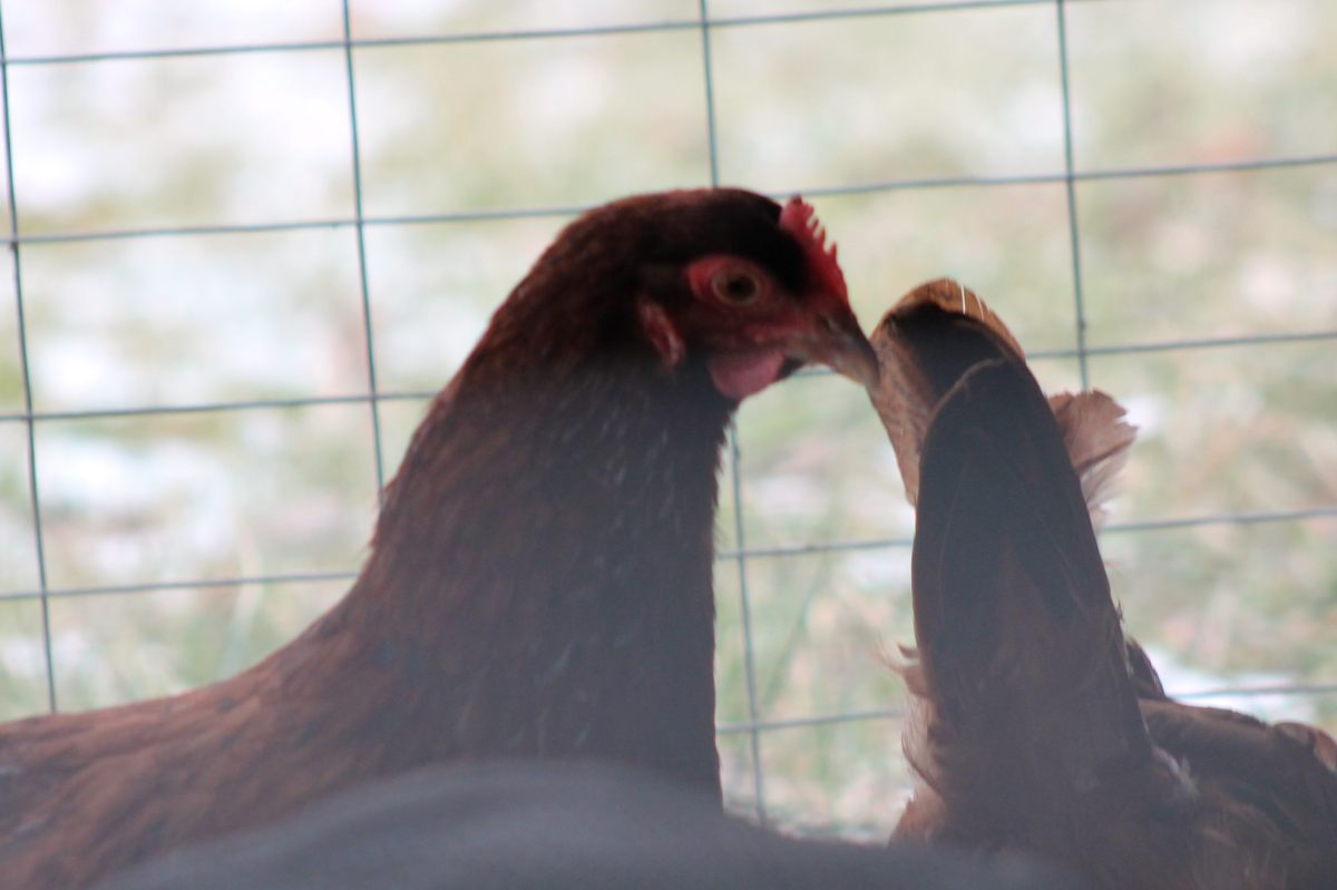 Feeding Chickens in the WinterMonths